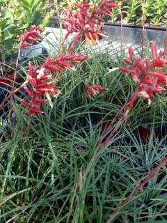 Grassy Tillandsia's