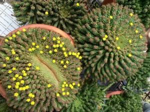 Coachwood at 'Sea-Changer' - Euphorbia caput-medusae - Medusa's Head