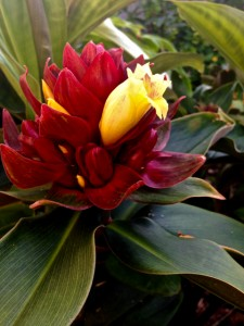 Costus comosus X erythrophyllus 'Oxley Ruby'